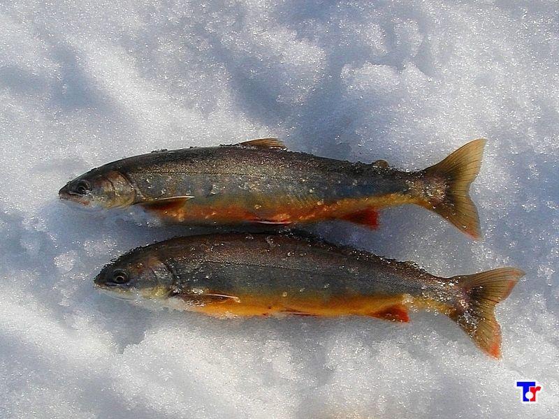 это мешает фото рыб кольского полуострова стал частью конкурса